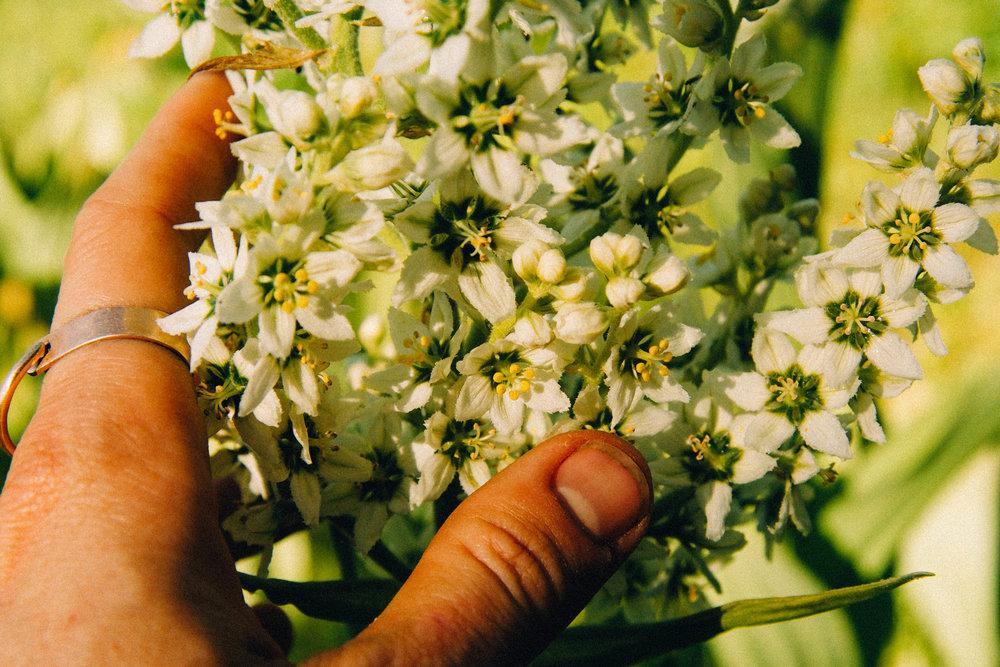 Veratrum californicum - Sierra Corn Lily (  Melanthiaceae )