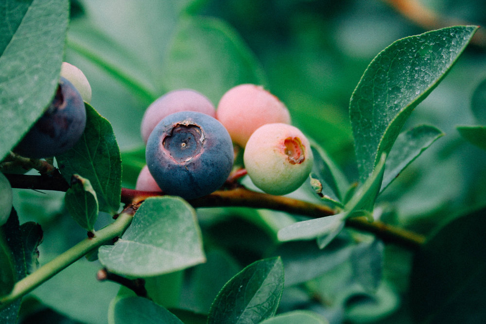 cultivated Blueberry on my dad's homestead.