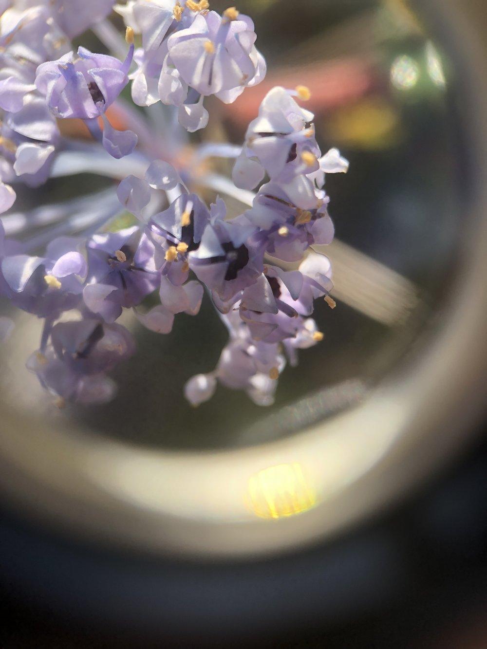 Ceanothus spp. flowers through a loupe up close!. Taken Spring 2019 - Salt Point State Park.