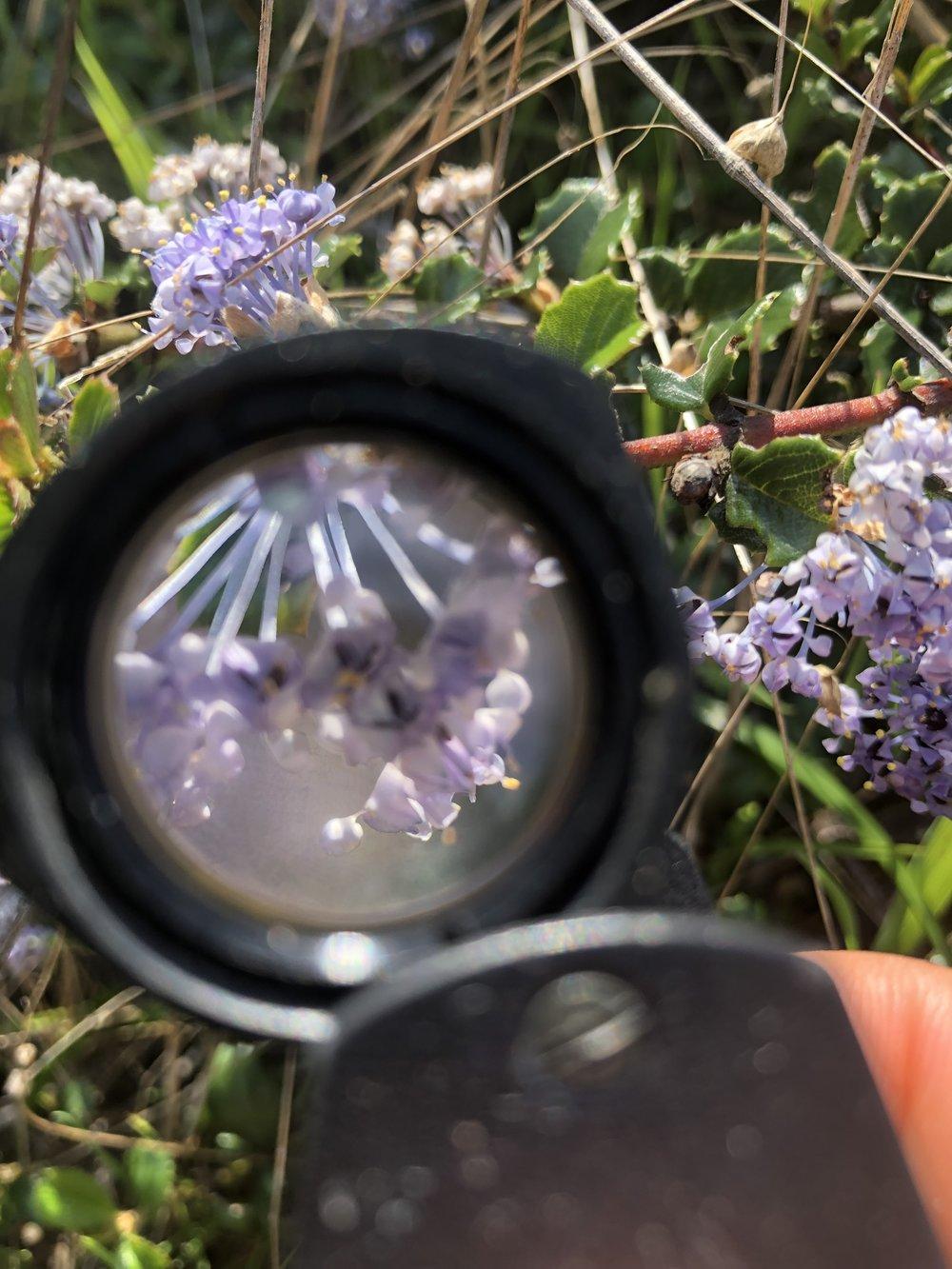 Ceanothus spp. flowers through a loupe. Taken Spring 2019 - Salt Point State Park.