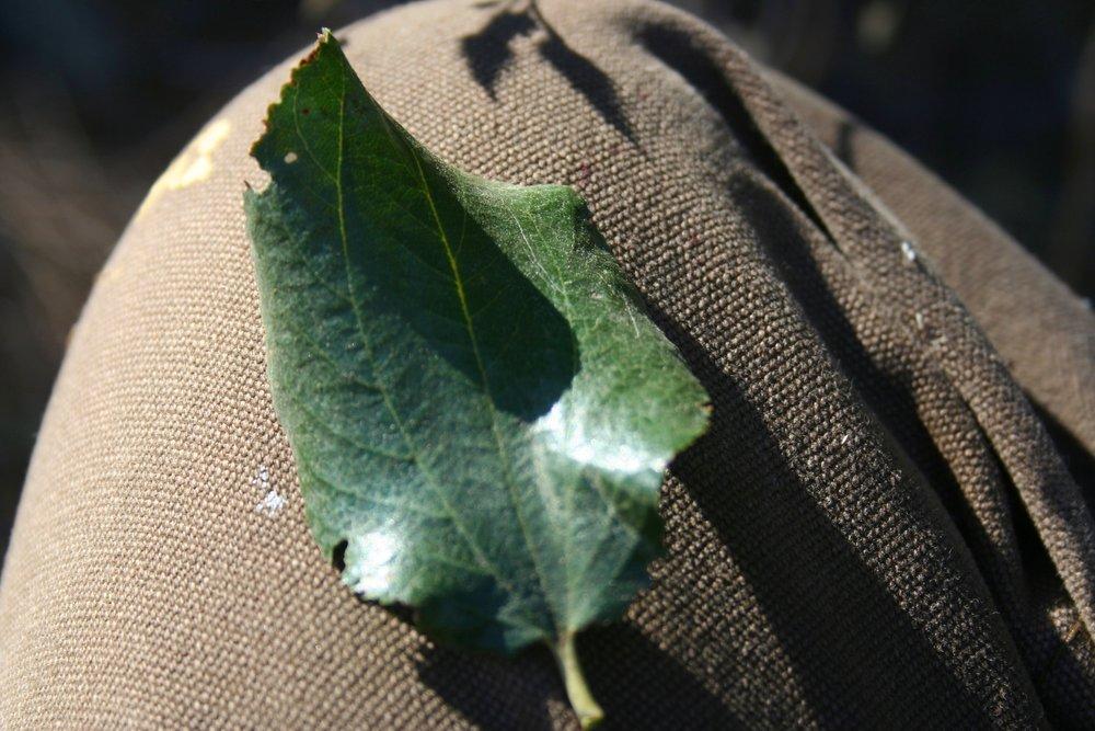 C. velutinus leaf. Twisp, WA. 2015. Notice the three prominent leaf veins.