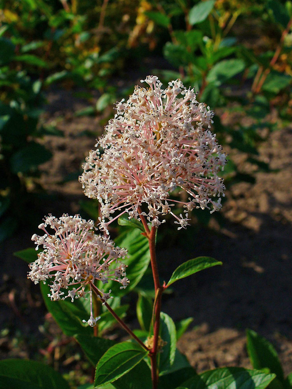 Ceanothus americanus   H. Zell [CC BY-SA 3.0 (https://creativecommons.org/licenses/by-sa/3.0)]