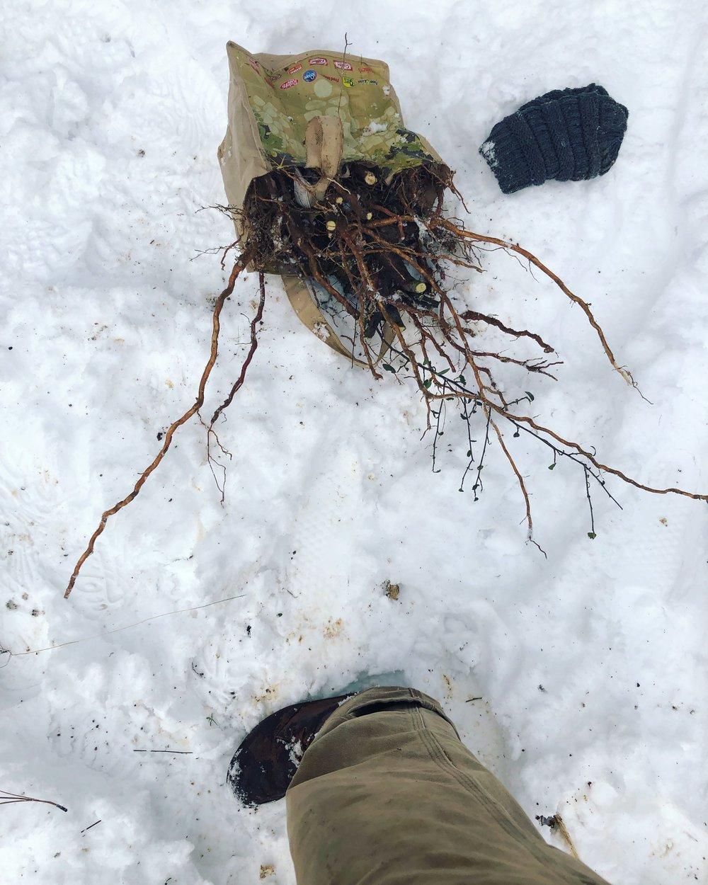Ceanothus spp . harvest. Trinity county, California, Winter 2019.