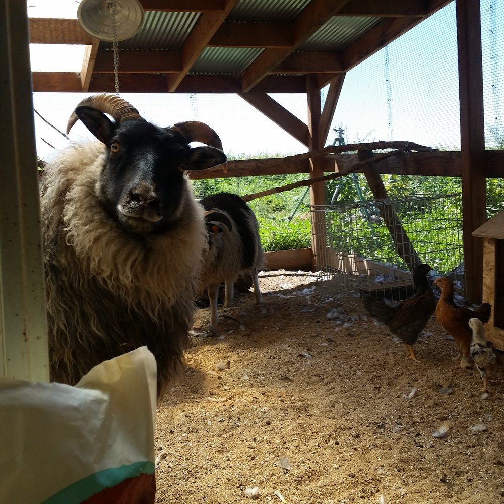 Mamacita peeks into the chicken coop after exploring the chicken run for a while with the others this summer. Seeing her in this picture as compared to now in the winter makes me realize just how long her wool has grown since then!