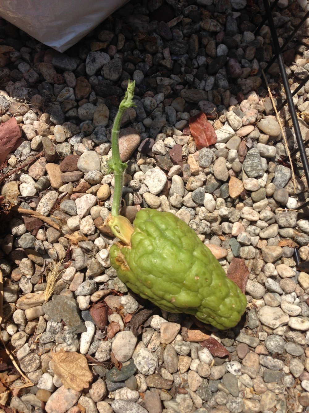SPROUTING CHAYOTE