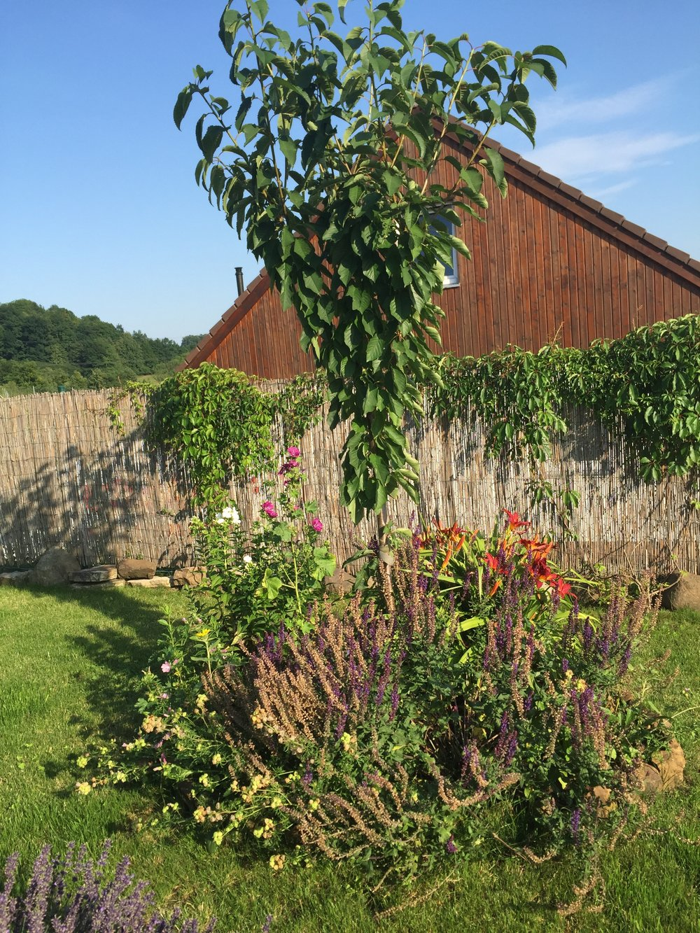 mladá třešeň s podsadbou trvalek