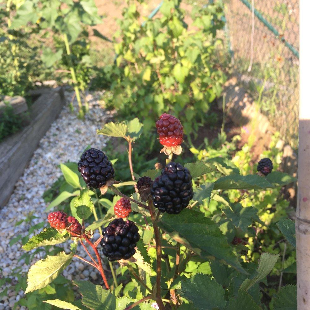 okolo plotu rostou a plodí ovocné keře