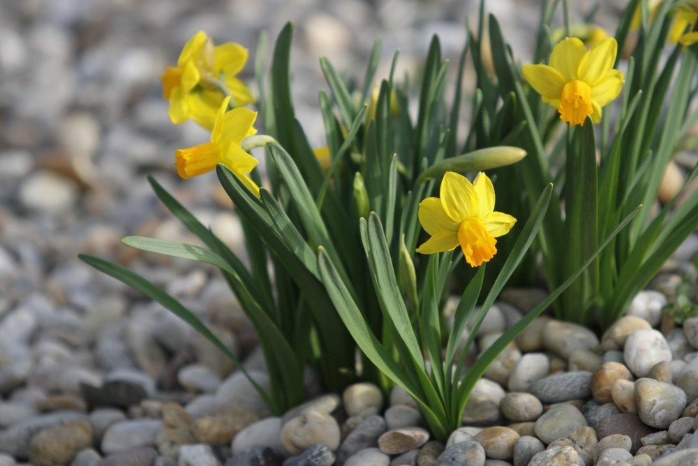 Jarní efekt cibulovin - Narcissus 'Jetfire'