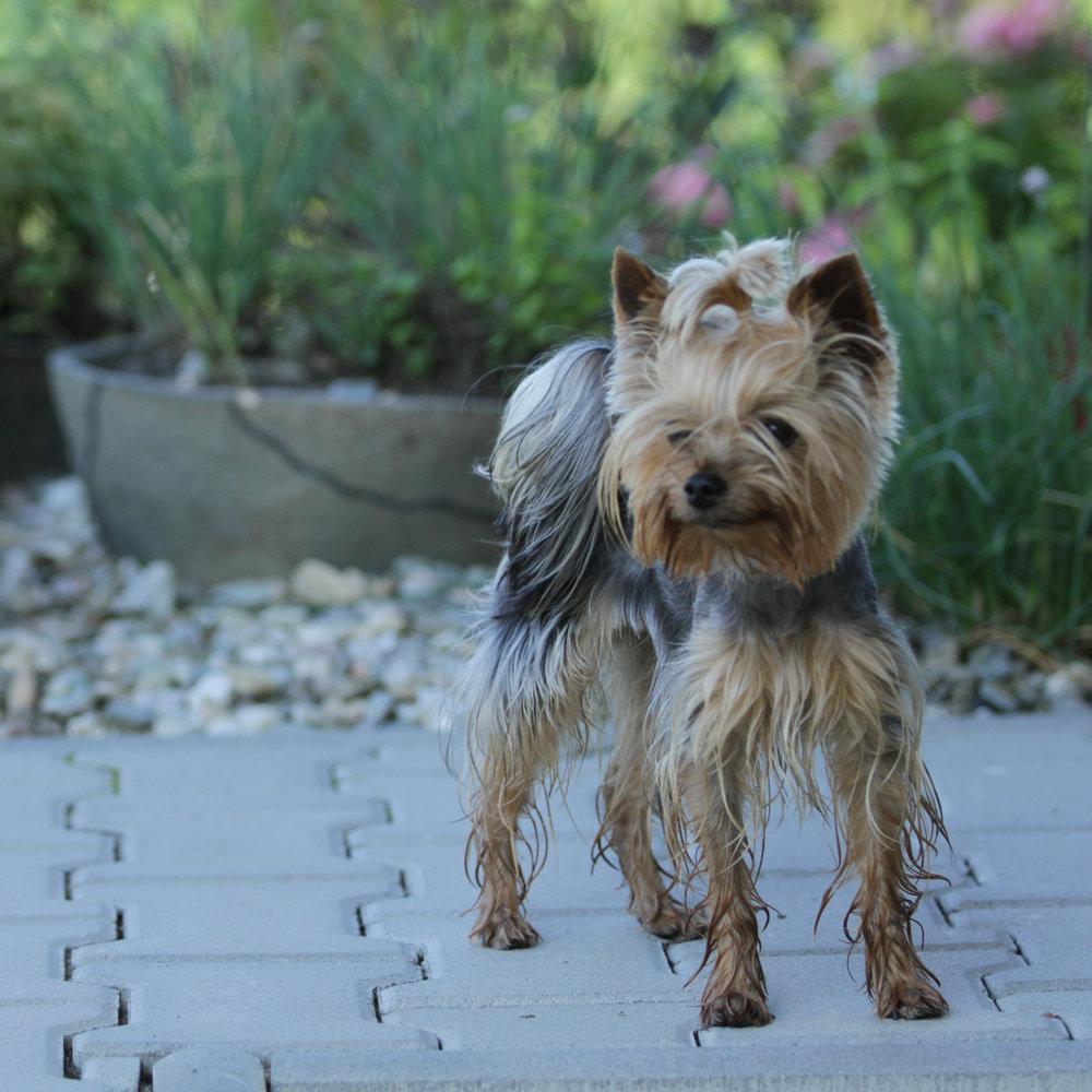 Pejsek se radostně prohání zahradou.