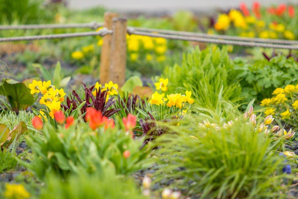 Cibuloviny, záhony, ktgardens, jaro, zahrada, tulipány, narcisy