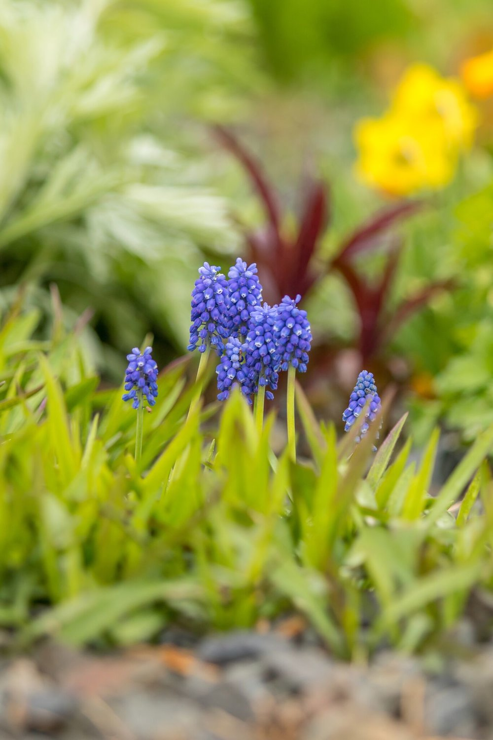 modřence - Muscari aucheri 'Blue Magic'
