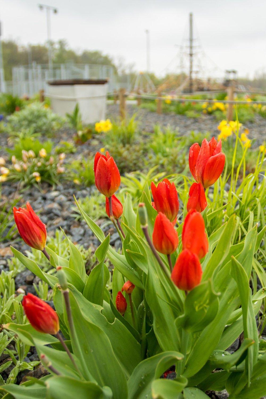 tulipány - Tulipa praestans 'Fussilier'