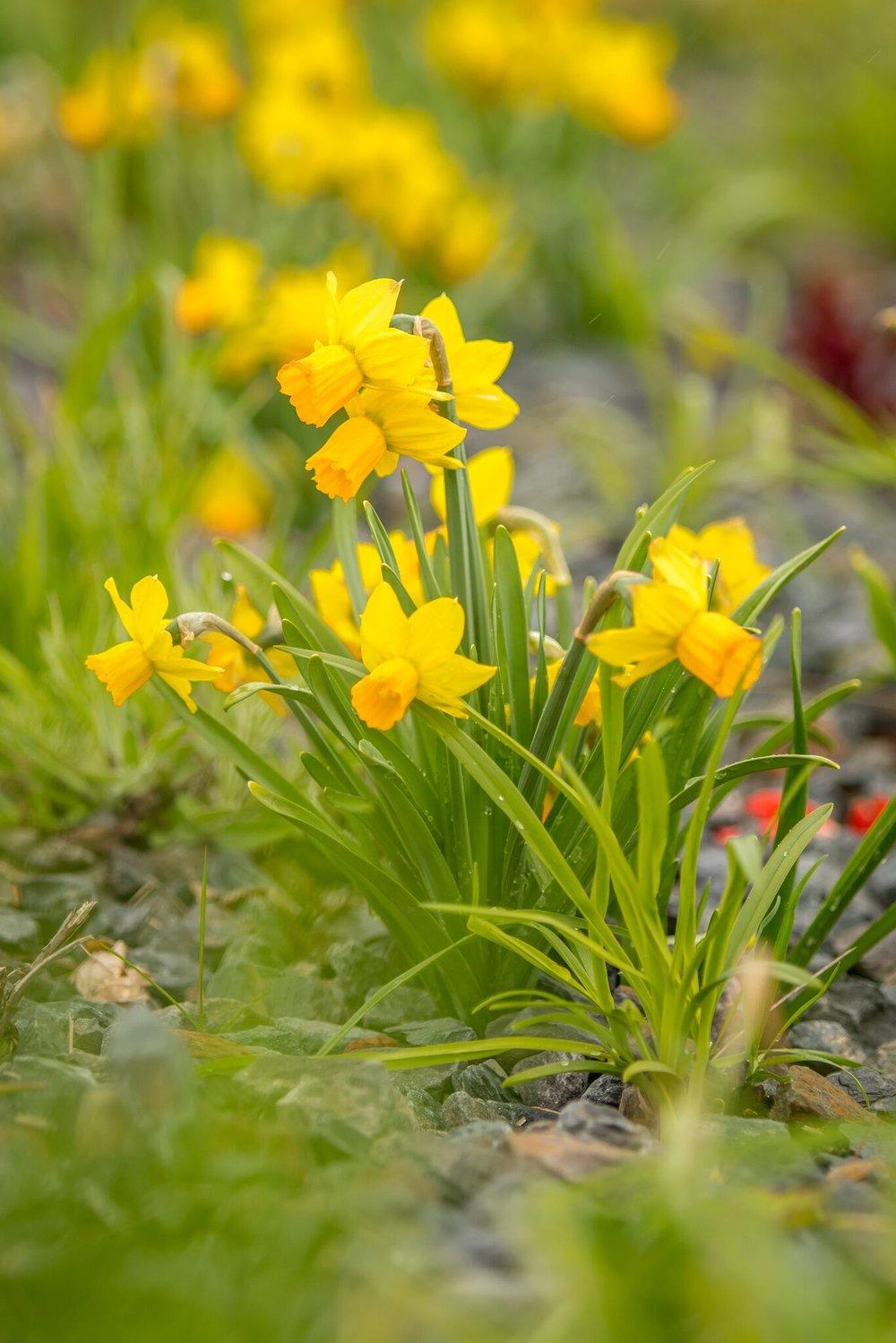 narcisy - Narcissus cyclamineus 'Jetfire'