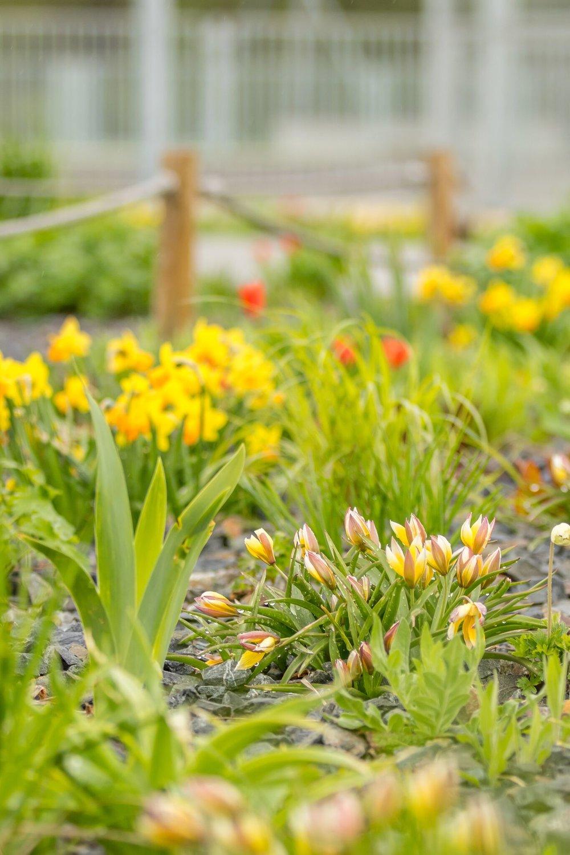tulipány - Tulipa tarda