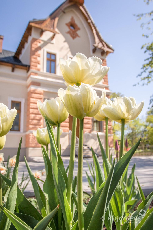 vila Machů, zahrada, Kopřivnice, ktgardens, tulipány