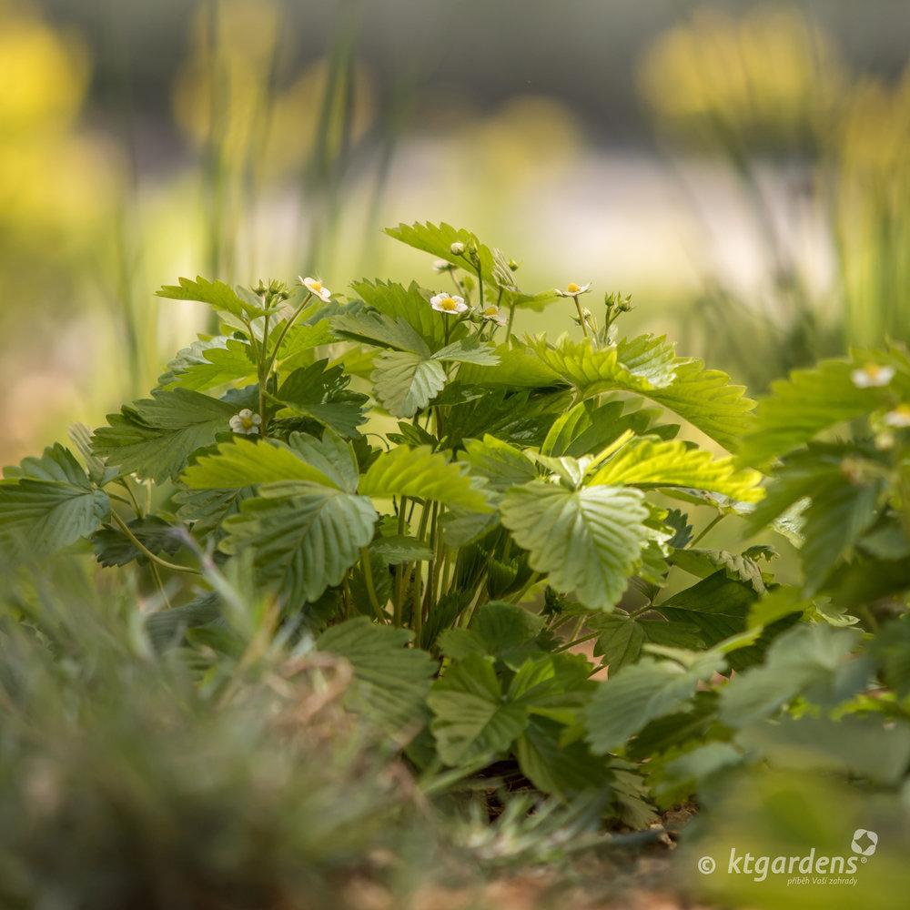 jahody, bylinky, vila Machů, Kopřivnice, ktgardens, zahrada