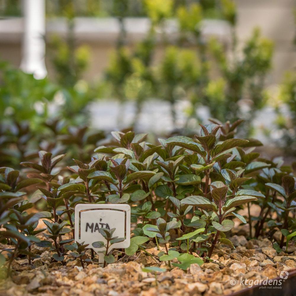 máta, vila Machů, zahrada, Kopřivnice, bylinky, ktgardens