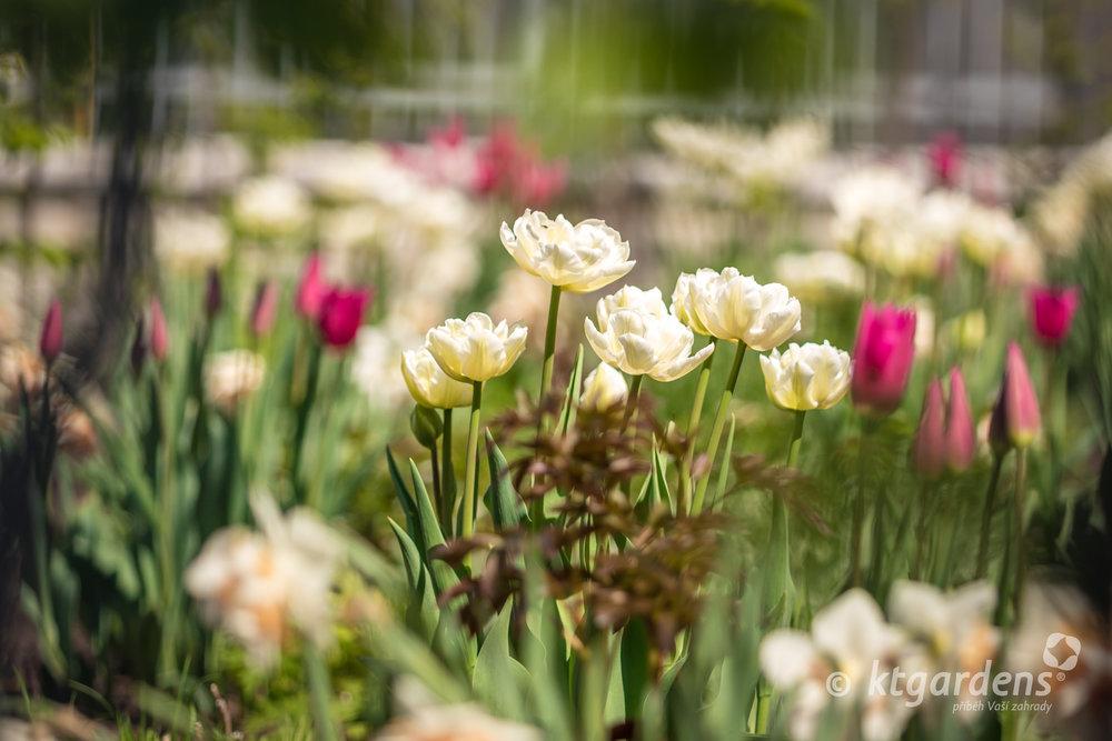 jarní cibuloviny, tulipány, pivoňky, trvalky, záhon, zahrada, Kopřivnice, vila Machů, ktgardens