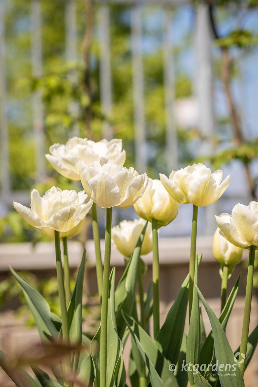 vila Machů, Kopřivnice, plot, tulipány, ktgardens, zahrada