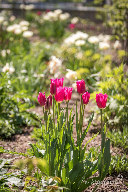 tulipány, záhon, trvalky, zahrada, vila Machů, ktgardens, Kopřivnice
