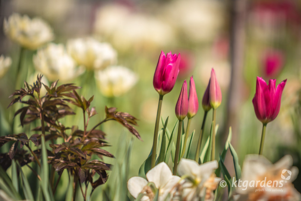 tulipány, pivoňky, záhon, trvalky, zahrada, vila Machů, ktgardens, Kopřivnice