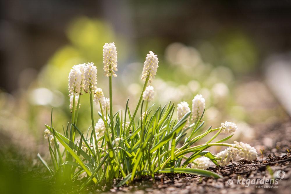 modřence, záhon, trvalky, zahrada, vila Machů, ktgardens, Kopřivnice