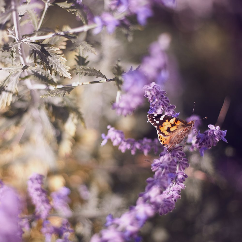 motýl, babočka kopřivová, motýlí záhony, ktgardens, ostrava