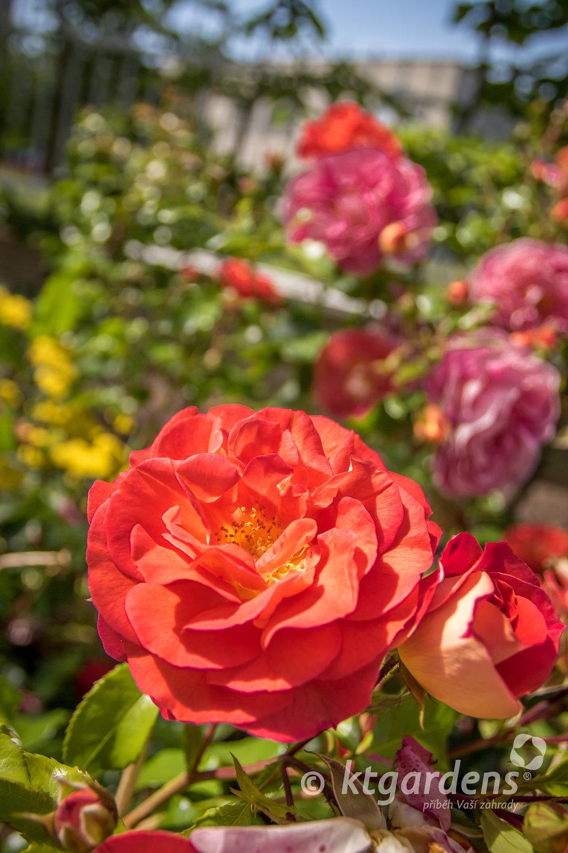 růže, záhon, trvalky, zahrada, vila Machů, ktgardens, Kopřivnice