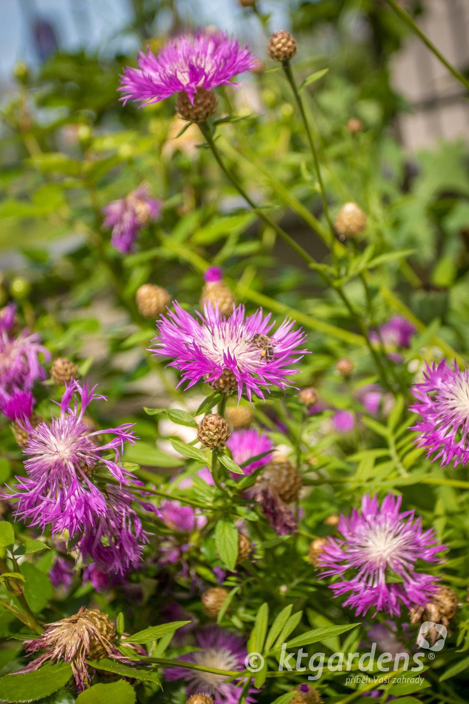 chrpy, záhon, trvalky, zahrada, vila Machů, ktgardens, Kopřivnice