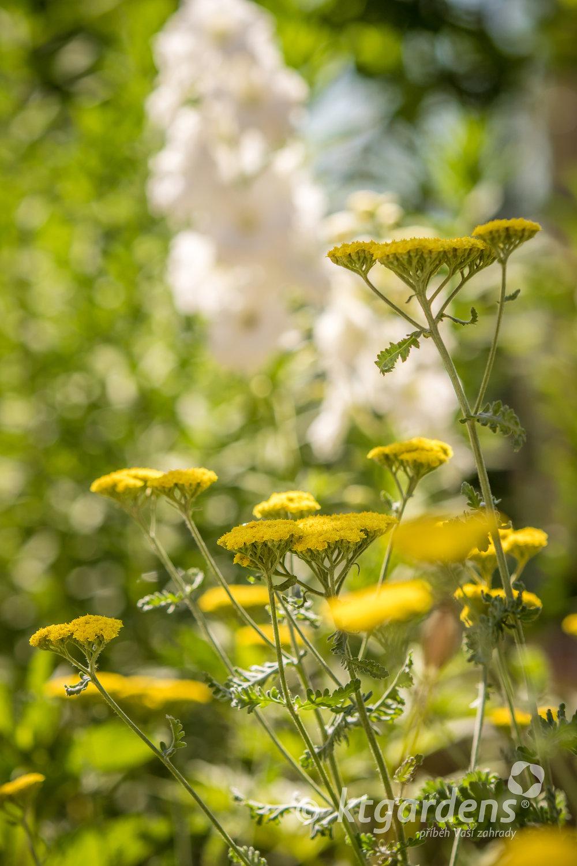 řebříčky, záhon, trvalky, zahrada, vila Machů, ktgardens, Kopřivnice