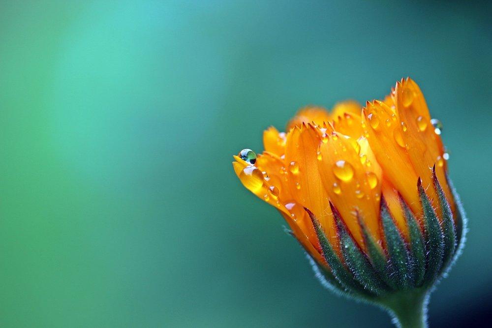 marigold-1568646_1920.jpg