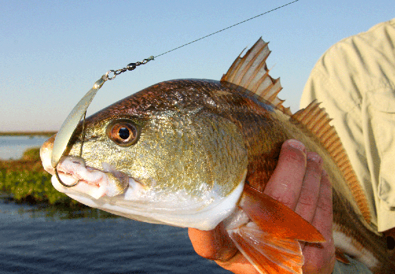 Redfish with lure in mouth