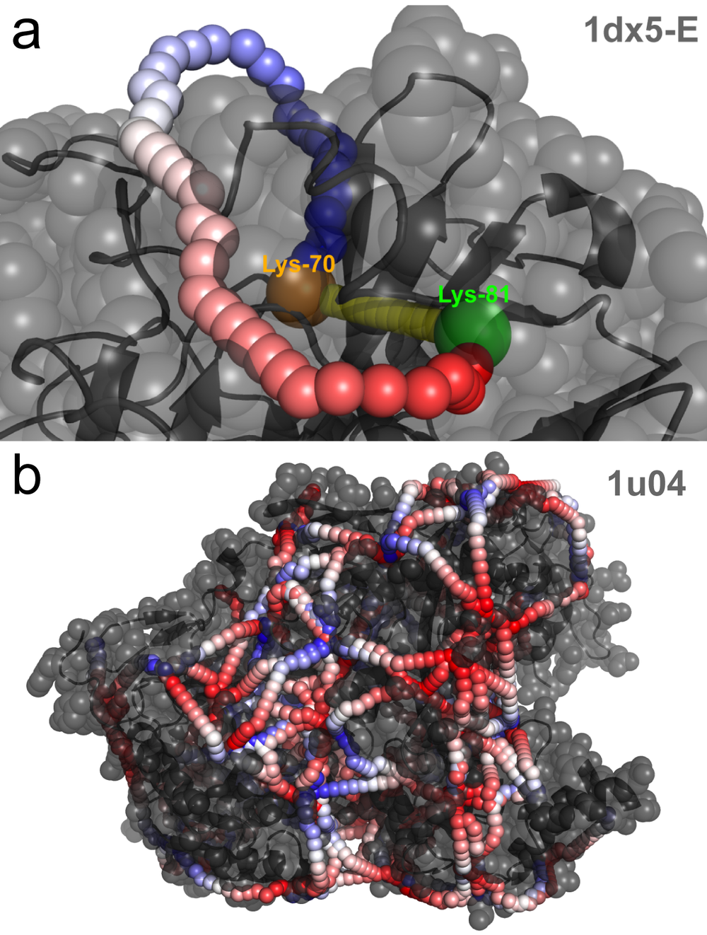 Shortest SASD path illustrated on the example of (a)  human prothrombin  and (b) argonaut protein.