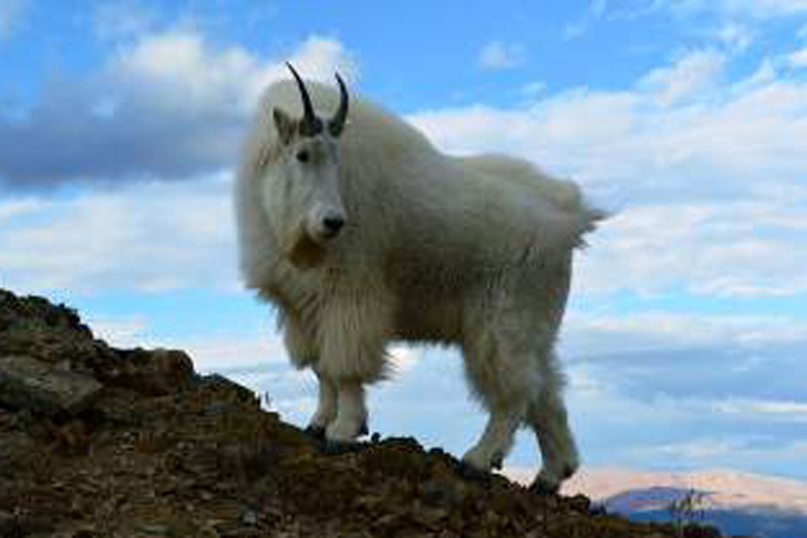 Moutaingoat.jpg