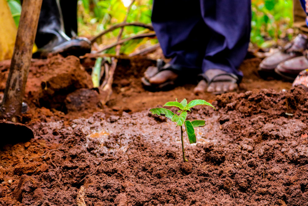 With Kibo's help, Bukudumira Village planted its first mvule tree. The sapling is tiny and fragile, but in a year it will be six feet tall. In 50 years, its trunk will be as wide as a car.