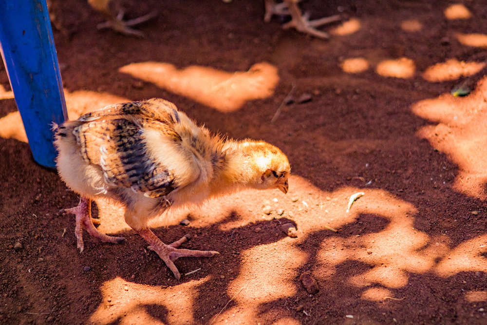 Every chick that doesn't survive to adulthood is money lost for the family. If a family listens to Ida's lessons and implements simple changes, their chicks are more likely to grow up healthy and safe.
