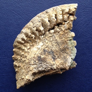 Metengonoceras Reverse  Walnut Clay Formation  Hood Co., TX
