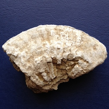 Metengonoceras  Walnut Clay Formation  Hood Co., TX