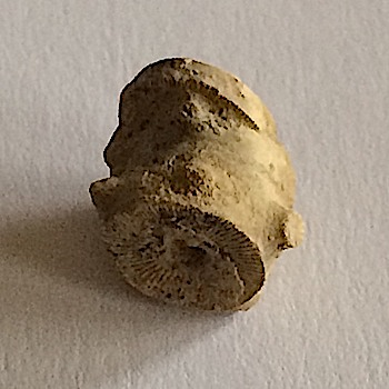 Crinoid Stem #304b  Mineral Wells Formation  Mineral Wells, Palo Pinto Co., TX