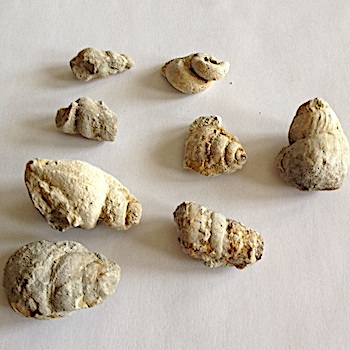 Mix of Small Gastropods #152  Comanche Peak Formation  Hood Co., TX
