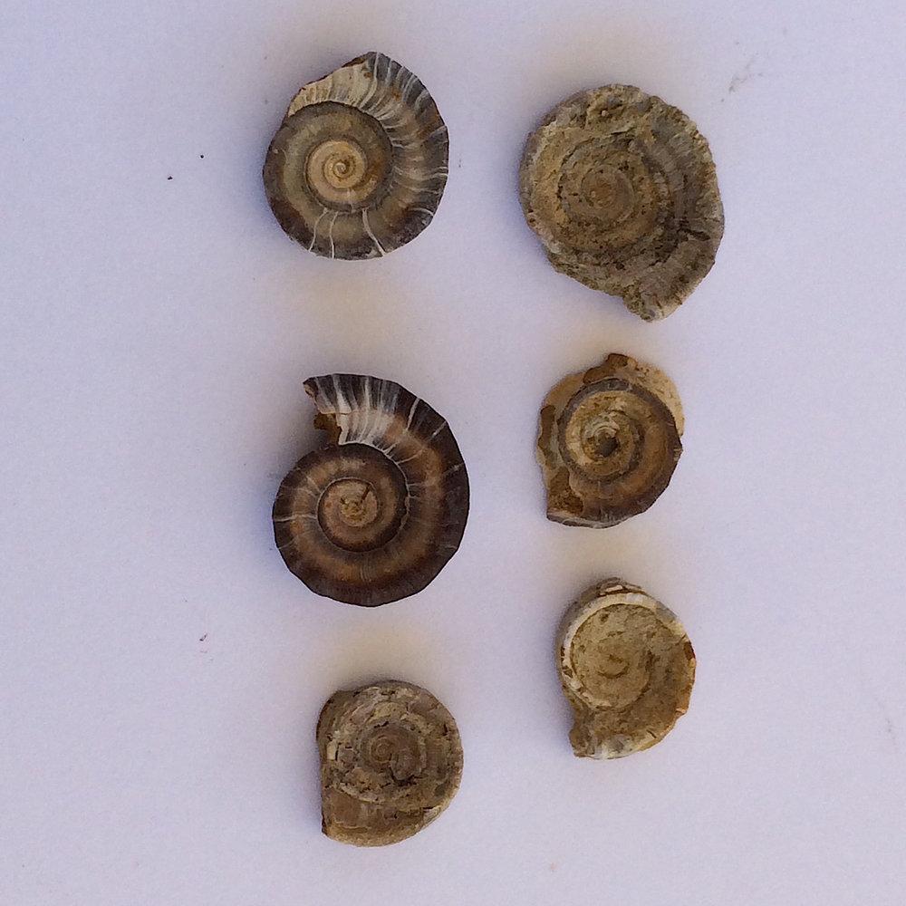 Amphiscapha subrugosa #480e  Graham Formation (Finis Shale)  Jacksboro, Jack Co., TX