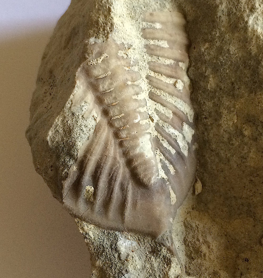 Huntonia huntonensis Trilobite #527   Haragan Formation  Clarita, Coal Co., OK