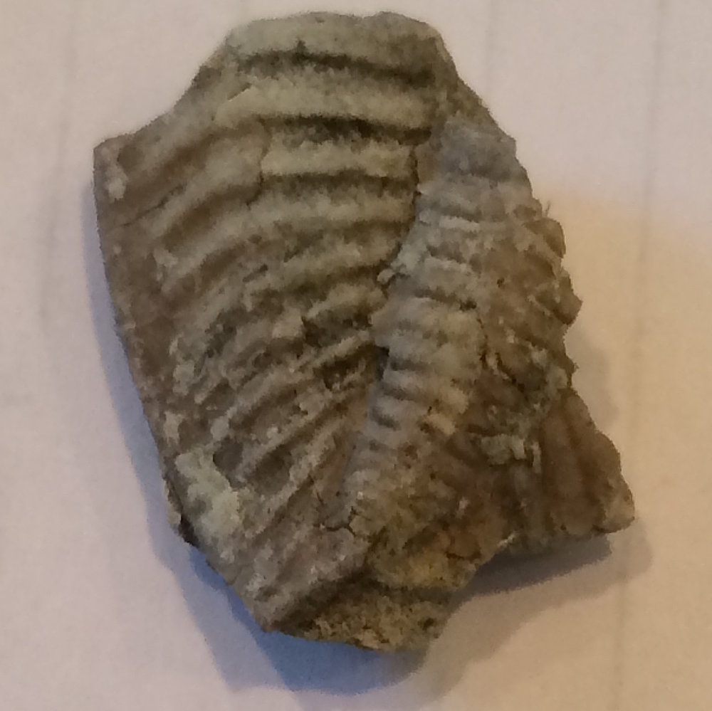 Cordania falcata Trilobite #526  Haragan Formation  Clarita, Coal Co., OK