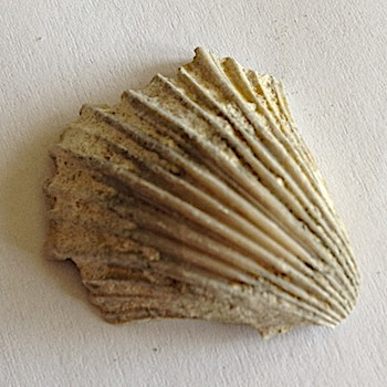 Pecten irregularis #161  Comanche Peak Formation  Hood Co., TX