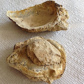 Oyster with soft tissue cast inside #166b  Walnut Clay Formation  Hood Co., TX