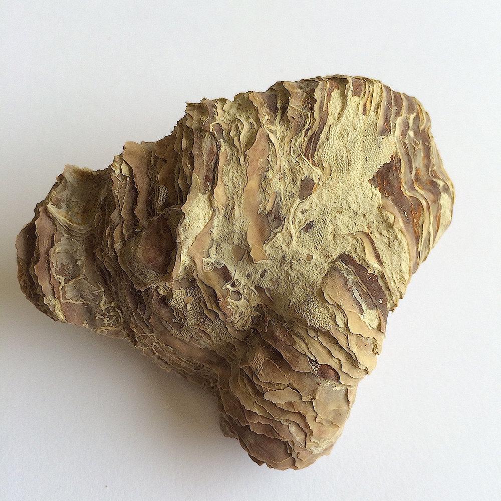 Texigryphaea roemeri #660  Grayson Marl Formation  Denton Co., TX