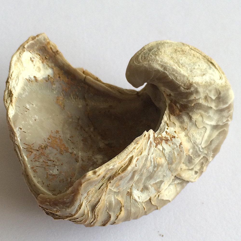 Texigryphaea roemeri #660h  Grayson Marl Formation  Denton Co., TX