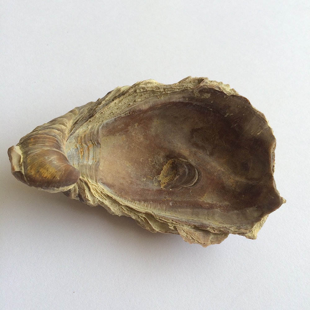 Texigryphaea roemeri #660g  Grayson Marl Formation  Denton Co., TX