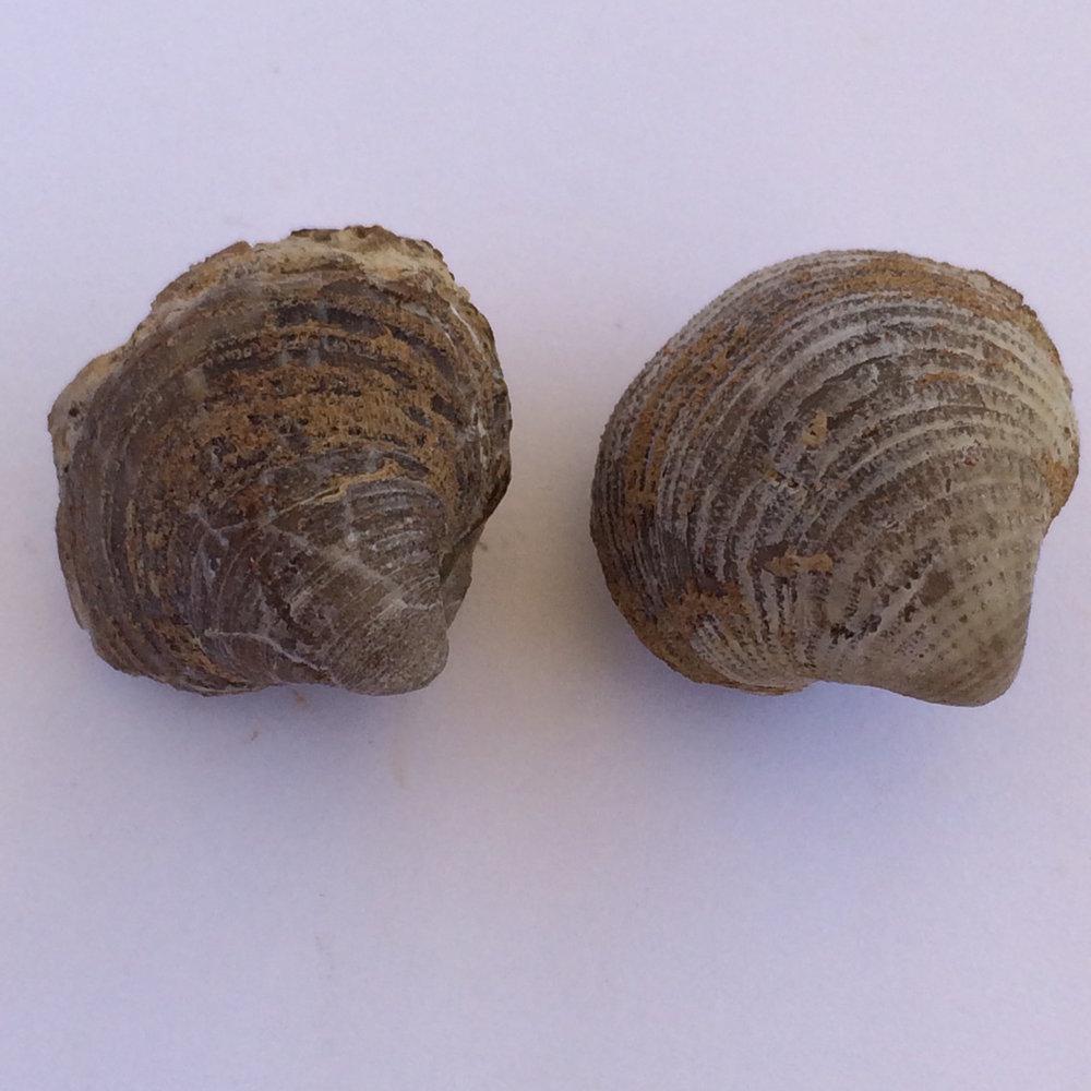 Crurithyris planoconvexa #431 Finis Shale, Graham Formation Jacksboro, Jack Co., TX