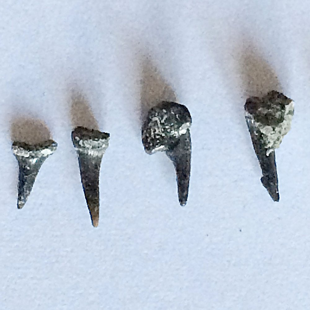 Sharks Teeth #394  Eagle Ford-Austin (Atco) Formation  Midlothian, Ellis Co., TX